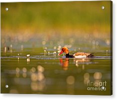 Red-crested Pochard Acrylic Print