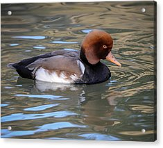 Acrylic Print featuring the photograph Red Crested Pochard by Tyson and Kathy Smith