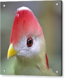 Red Crested Turaco Acrylic Print by Richard Bryce and Family