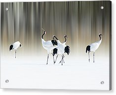 Red-crested White Cranes Acrylic Print by Ikuo Iga
