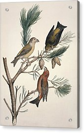 Red Crossbill, 19th Century Acrylic Print