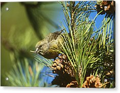 Red Crossbill Eating Cone Seeds Acrylic Print