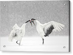Red Crowned Crane Courtship Dance Acrylic Print