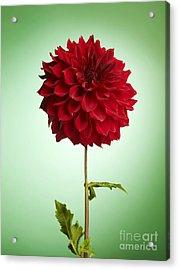 Red Dahlia Acrylic Print by Tony Cordoza