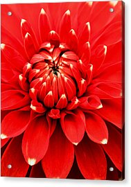 Acrylic Print featuring the photograph Red Dahlia With White Tips by E Faithe Lester
