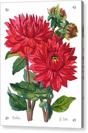 Red Dahlias Acrylic Print