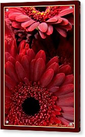 Red Daisies Acrylic Print by Danielle  Parent
