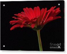 Red Daisy 2 Acrylic Print