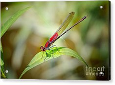 Red Damselfly Acrylic Print by Peggy Franz