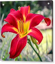 Acrylic Print featuring the photograph Red Daylily by Rob Sellers