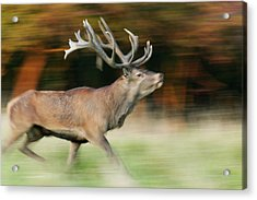 Red Deer Cervus Elaphus Stag Running Acrylic Print by Cyril Ruoso