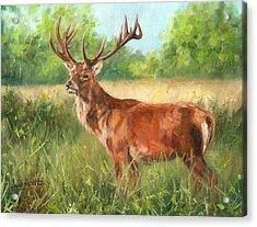 Red Deer Acrylic Print by David Stribbling