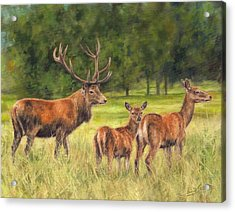 Red Deer Family Acrylic Print by David Stribbling