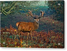 Red Deer Stag In Woodland Acrylic Print