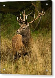 Red Deer Stag Acrylic Print by Paul Scoullar