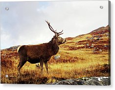 Red Deer, Stag Acrylic Print by Urbancow