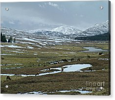 Red Deer Stags In A Highland Glen Acrylic Print