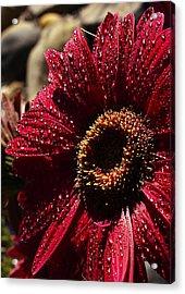Red Dew Acrylic Print by Joe Schofield