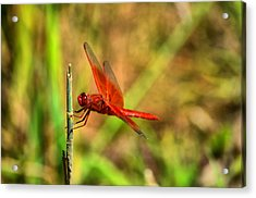 Red Dragon Dreams Acrylic Print