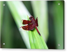 Acrylic Print featuring the photograph Red Dragon by Shoal Hollingsworth