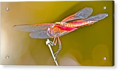 Red Dragonfly Acrylic Print by Cyril Maza