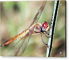Red Dragonfly Eyes Acrylic Print