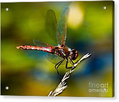 Acrylic Print featuring the photograph Red Dragonfly by Mae Wertz