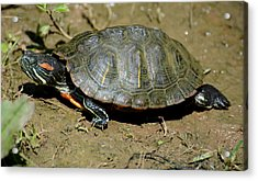 Red Ear Slider Acrylic Print by Todd Hostetter
