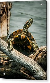Red Eared Slider Turtle Acrylic Print by Robert Frederick