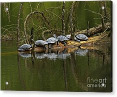 Red-eared Slider Turtles Acrylic Print