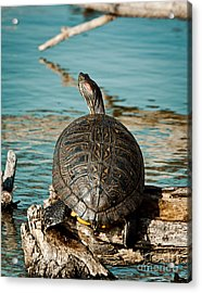 Red Eared Slider Xxl Acrylic Print by Robert Frederick