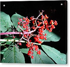 Red Elderberry Acrylic Print by Cheryl Hoyle