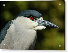 Acrylic Print featuring the photograph Red Eye - Black-crowned Night Heron Portrait by Georgia Mizuleva