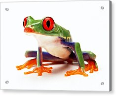 Red-eye Tree Frog 1 Acrylic Print by Lanjee Chee