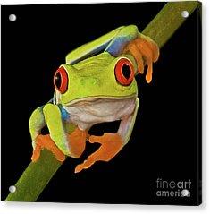 Red Eye Tree Frog Acrylic Print by Susan Candelario