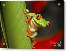 Red Eyed Leaf Frog Acrylic Print