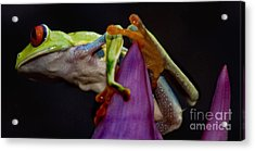 Red Eyed Tree Frog Acrylic Print by Bob Christopher