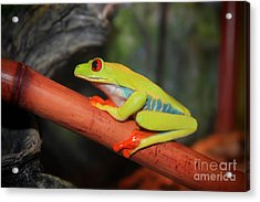 Red Eyed Tree Frog Acrylic Print by Cathy  Beharriell