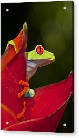 Acrylic Print featuring the photograph Red Eyed Tree Frog 3 by Dennis Cox WorldViews