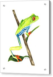 Red-eyed Treefrog From La Selva Acrylic Print