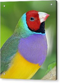 Red Faced Gouldian Finch Acrylic Print by Richard Bryce and Family