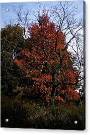 Red Fall Maple Tree Acrylic Print by Michel Mata