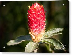 Acrylic Print featuring the photograph Red Flower by John Wadleigh