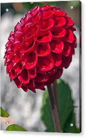 Red Flower With White Background Acrylic Print