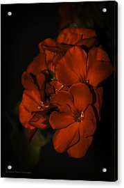 Acrylic Print featuring the photograph Red Flowers In Evening Light by Lucinda Walter