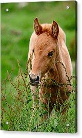 Red Foal. Beautiful Eyes Acrylic Print