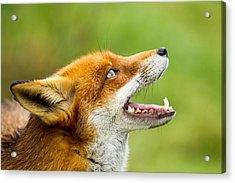 Red Fox - Vulpes Vulpes Acrylic Print by George Cox