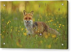Red Fox Acrylic Print by Assaf Gavra