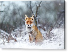 Red Fox Blue World Acrylic Print by Roeselien Raimond