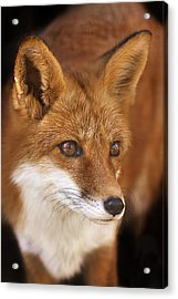 Red Fox  Acrylic Print by Brian Cross